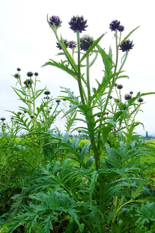 Karczoch roślina w polu, Francja zdjęcia royalty free