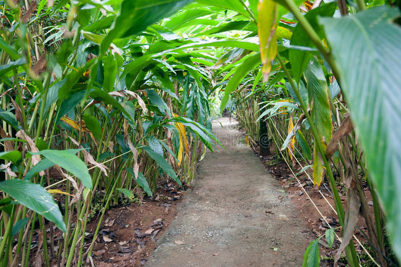 Kardamom pflanzt das Wachsen an den Kardamom-Hügeln lizenzfreies stockbild