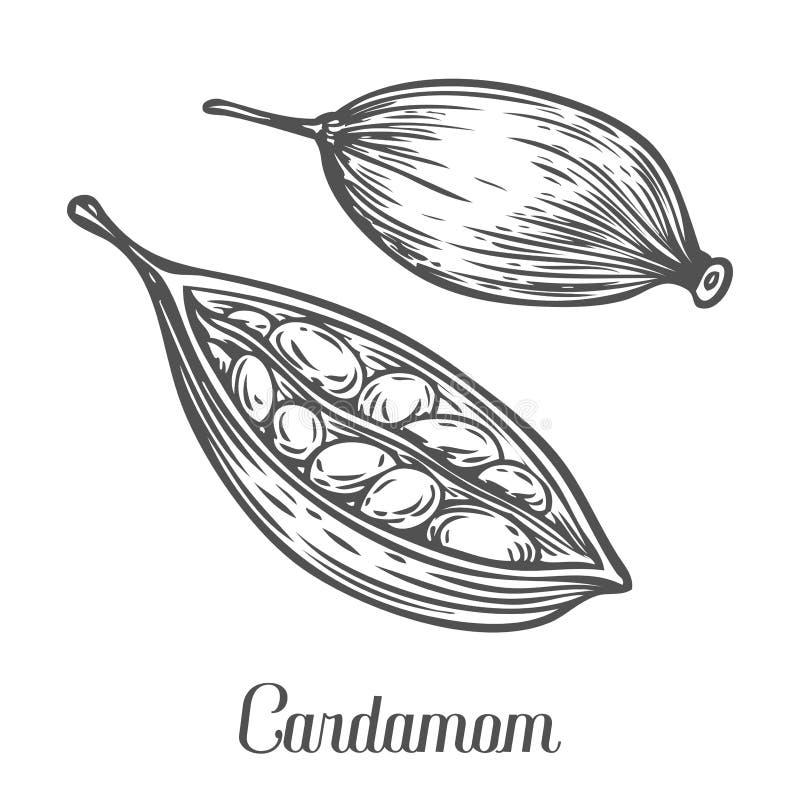 Kardamomsamenpflanze Übergeben Sie die gezogene Skizzenvektorillustration, die auf Weiß lokalisiert wird stock abbildung