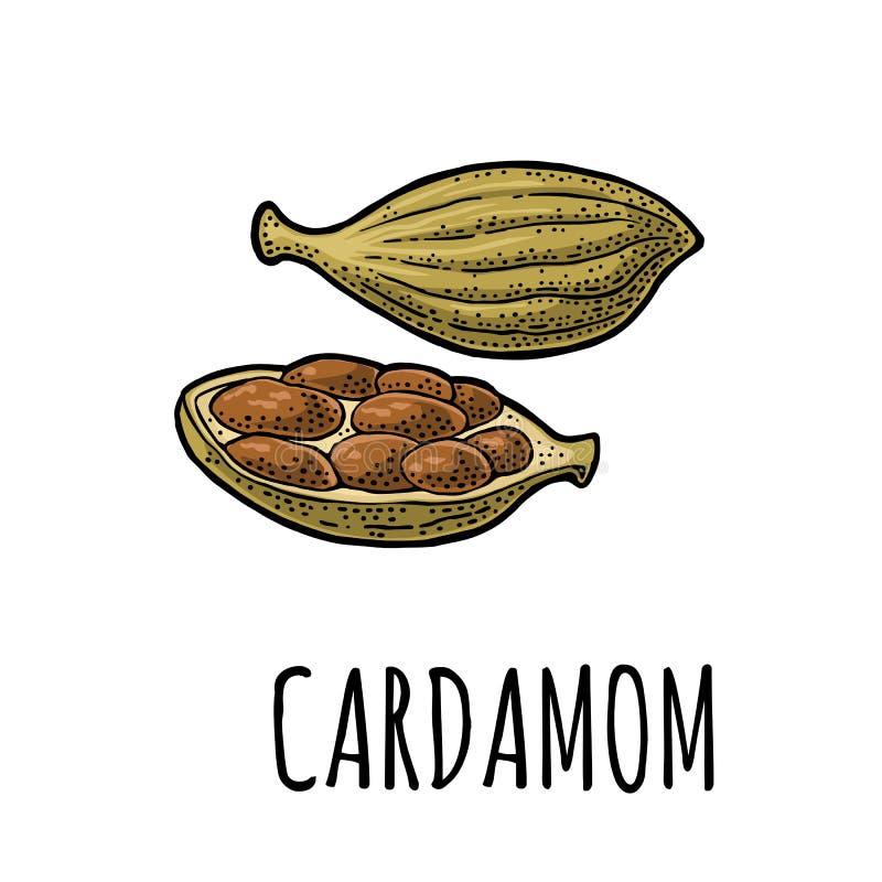 Kardamon pikantność z ziarnem Wektorowy rocznika rytownictwo ilustracji