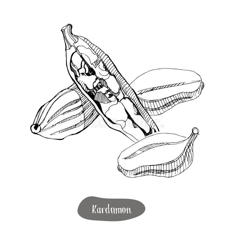 Kardamon pikantności ilustracja pojedynczy białe tło ilustracja wektor