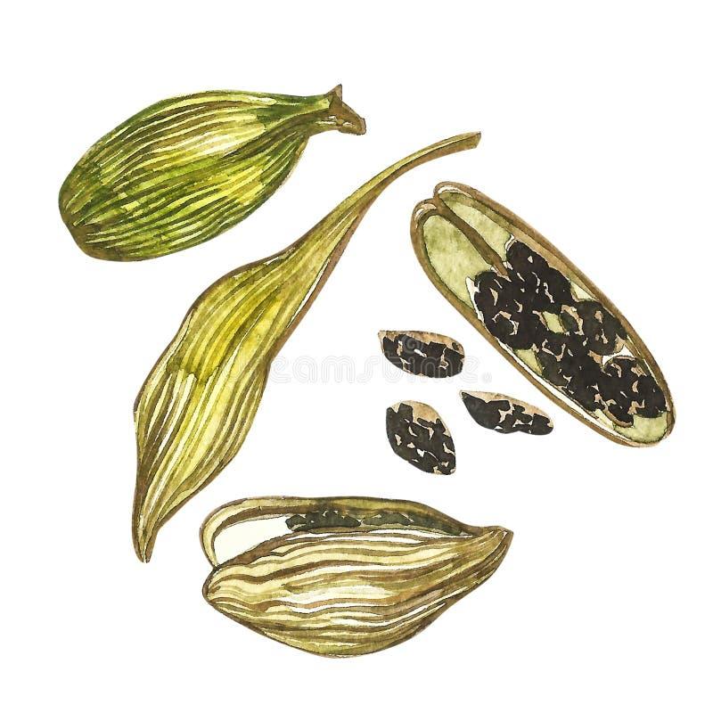 Kardamon rośliny akwareli ręka rysująca ilustracja pikantność Realistyczna botaniczna ilustracja ilustracji