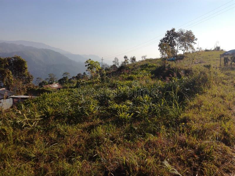 Kardamonu i miotły rośliny pole zdjęcie stock