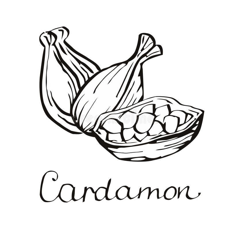 kardamony Kardamon na biały tle ilustracja wektor