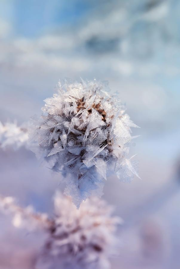 Kardborreväxtfrö som täckas med vita skinande frostkristaller i w royaltyfri foto
