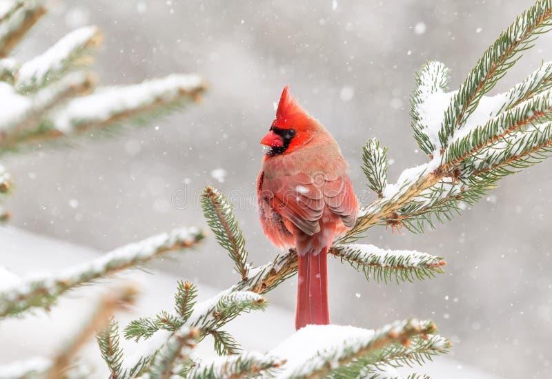 Kardinaal in een pijnboomboom wordt neergestreken in de winter die royalty-vrije stock afbeeldingen