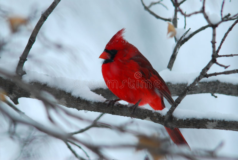 Kardinaal en sneeuw