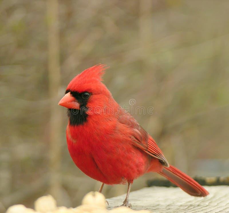 kardinal 2 arkivbilder