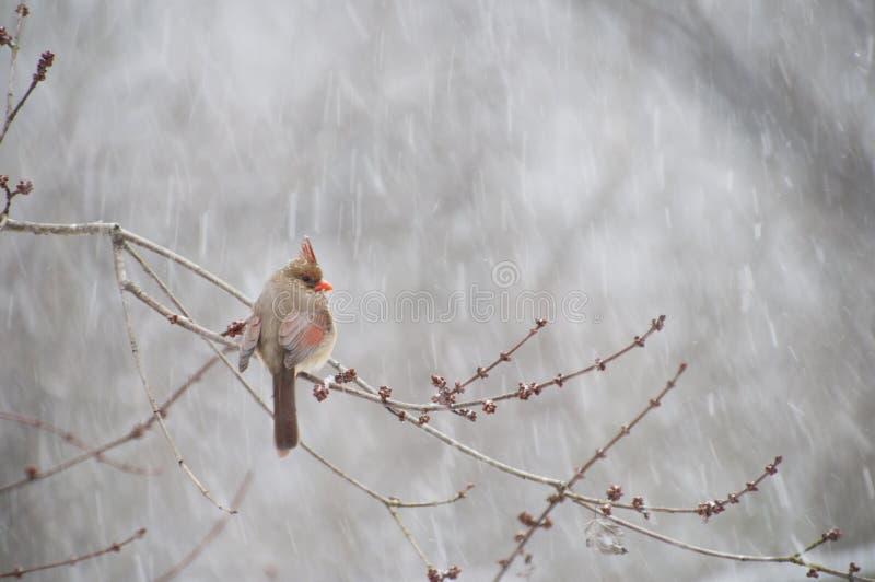 Kardinal gehockt auf Niederlassung im Schnee lizenzfreie stockfotografie