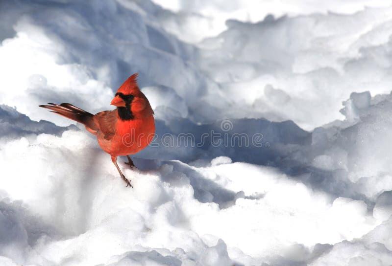 Kardinal im Schnee stockfotos