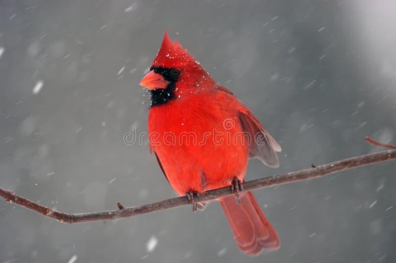 Kardinal im Schneesturm