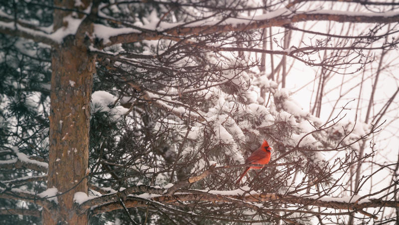Kardinal Winter Pine arkivfoton