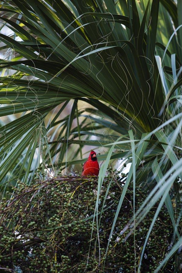 Kardinalen på väggar parkerar Palm Harbor arkivfoto