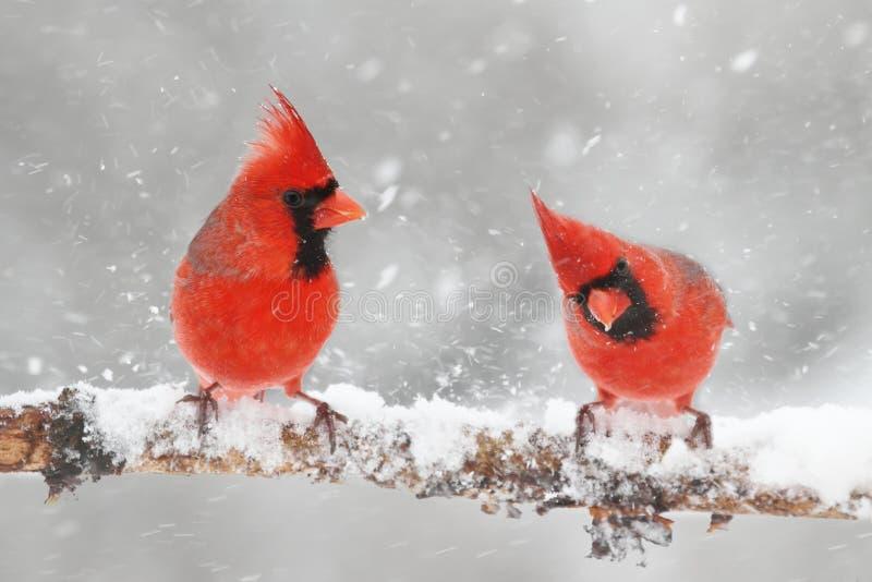 Kardinaler i snö arkivbilder