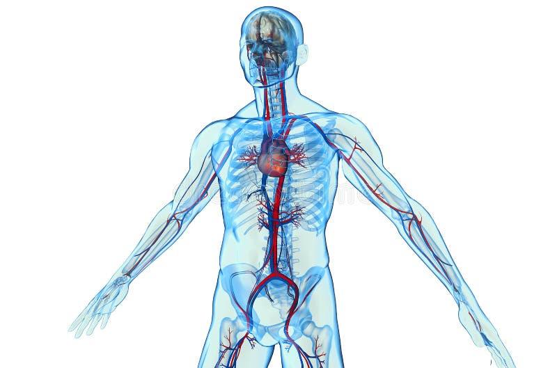 Kardiovaskulärt royaltyfri illustrationer