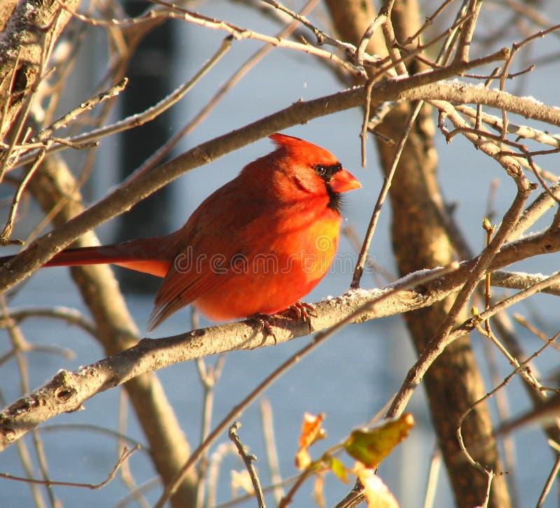 kardynał 5 zdjęcia royalty free