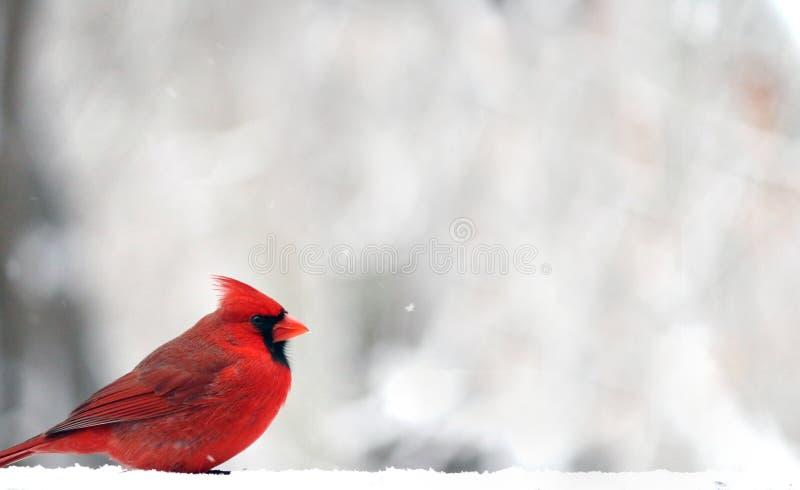 kardynał fotografia stock
