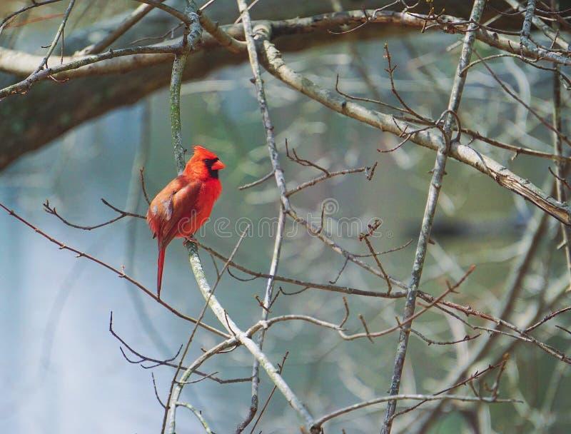 kardynał obrazy stock