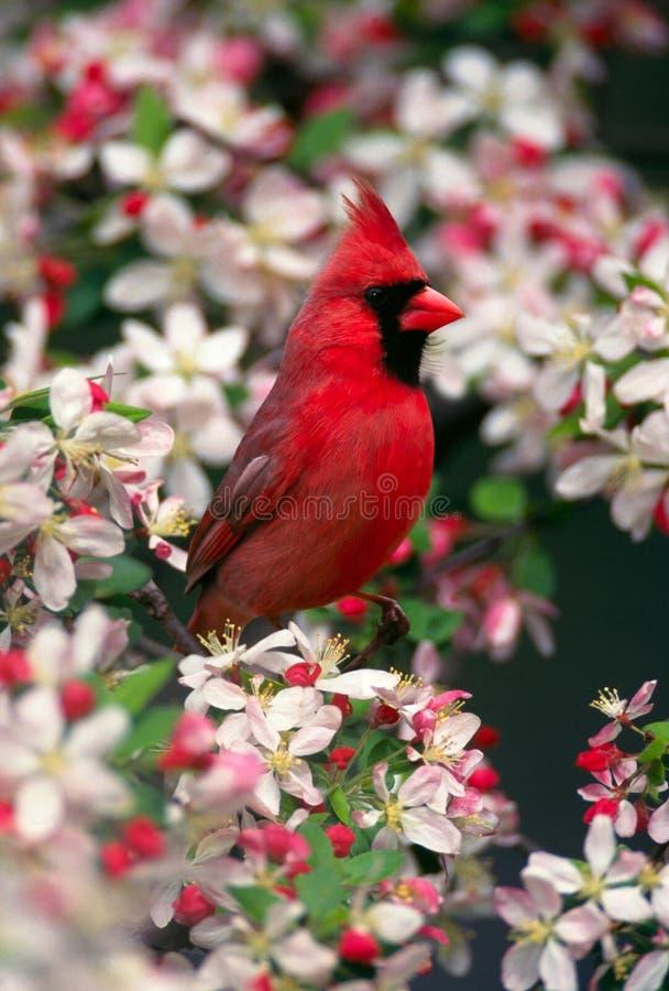 kardynał północnej obraz stock