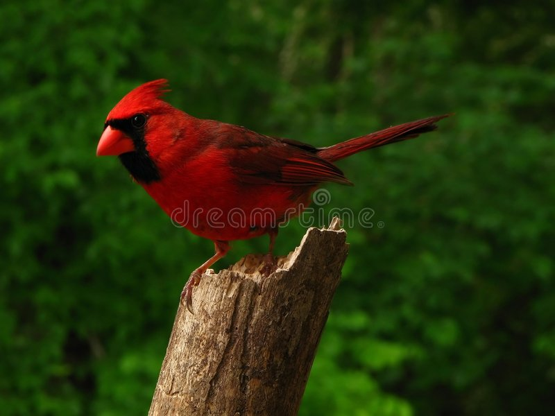 kardynał północnej zdjęcie stock