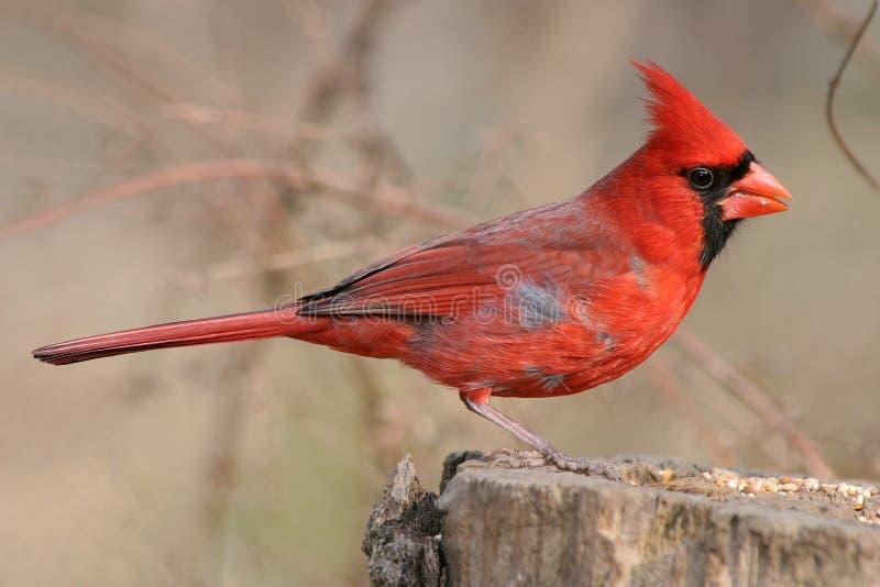 kardynał północny obraz royalty free