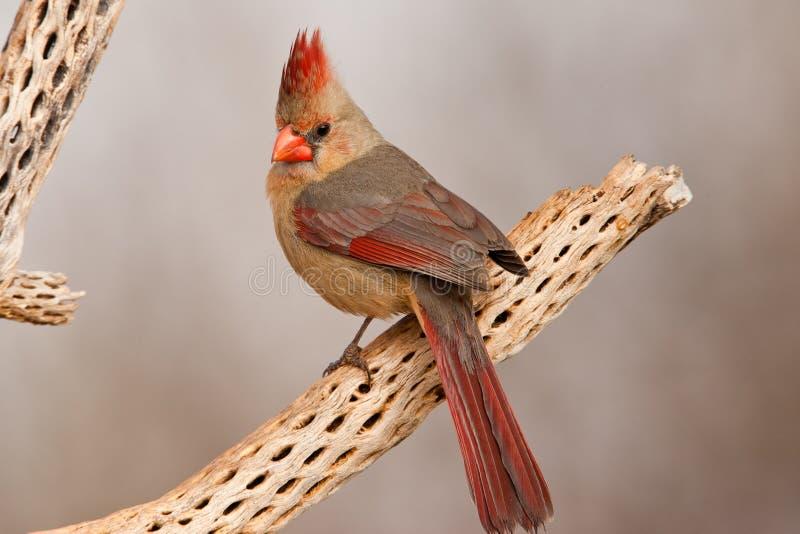 kardynał północny zdjęcie stock