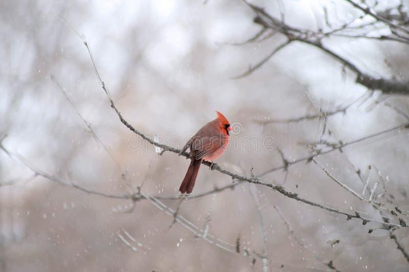 kardynał ptaka obrazy stock
