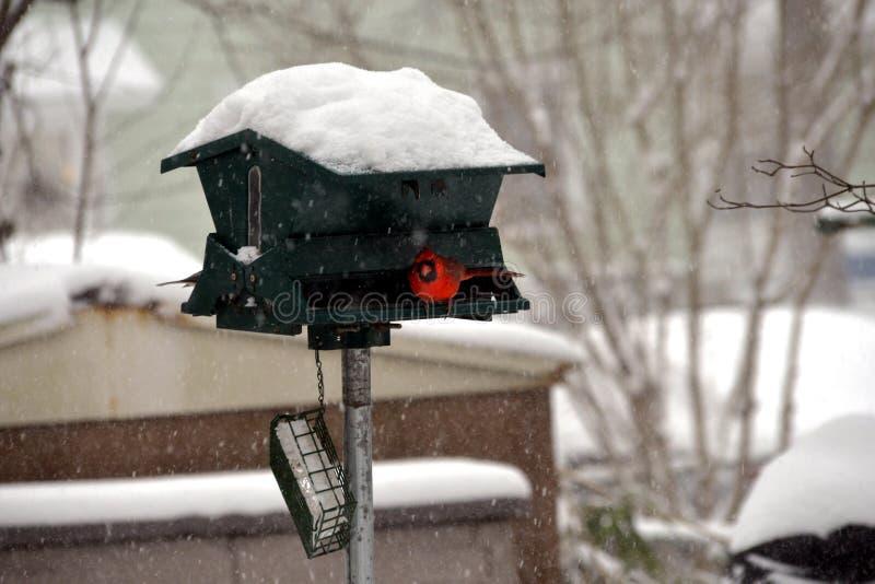 Kardynał szuka i wp8lywy osłaniają w śnieżycy obrazy royalty free