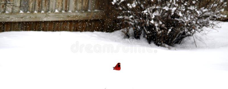 kardynała śnieg obraz stock