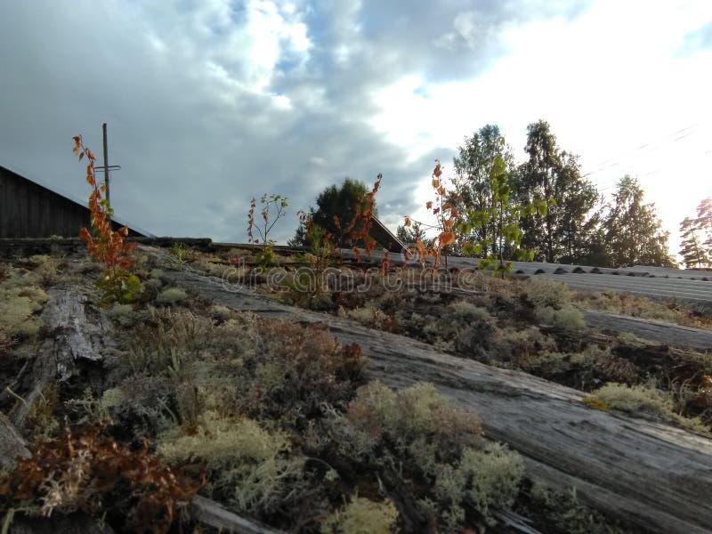 Karelia - mossa som växer på taket arkivfoto