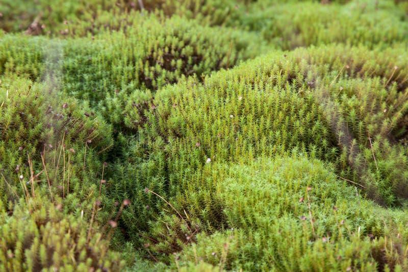 Karelia, palustre sphagnum стоковое фото