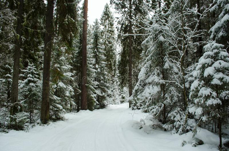 Karelian winter forest stock images