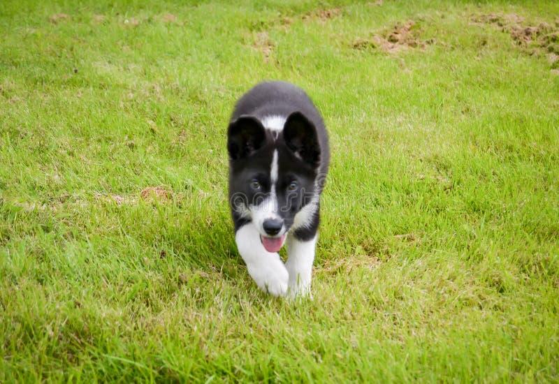 Karelischer Bärn-Hund lizenzfreies stockbild