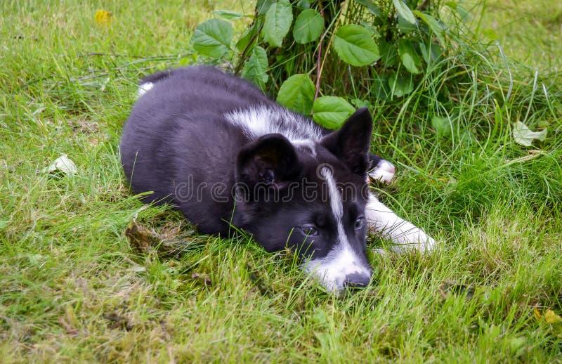 Karelischer Bärn-Hund stockbild