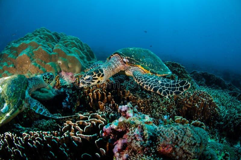 Karettschildkröteschwimmen um die Korallenriffe in Gili, Lombok, Nusa Tenggara Barat, Indonesien-Unterwasserfoto stockbilder