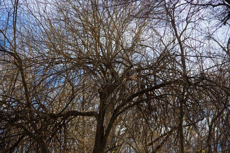 Karga träd i vinter i McKinney, Texas arkivfoton