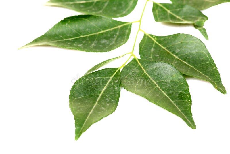 Kari-Blätter stockfoto