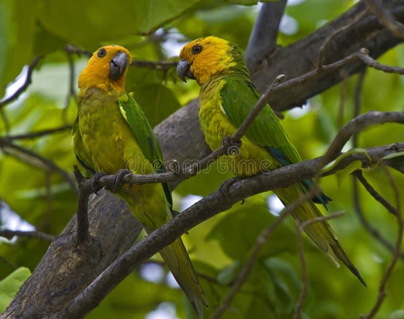Karibische Papageien stockfotografie