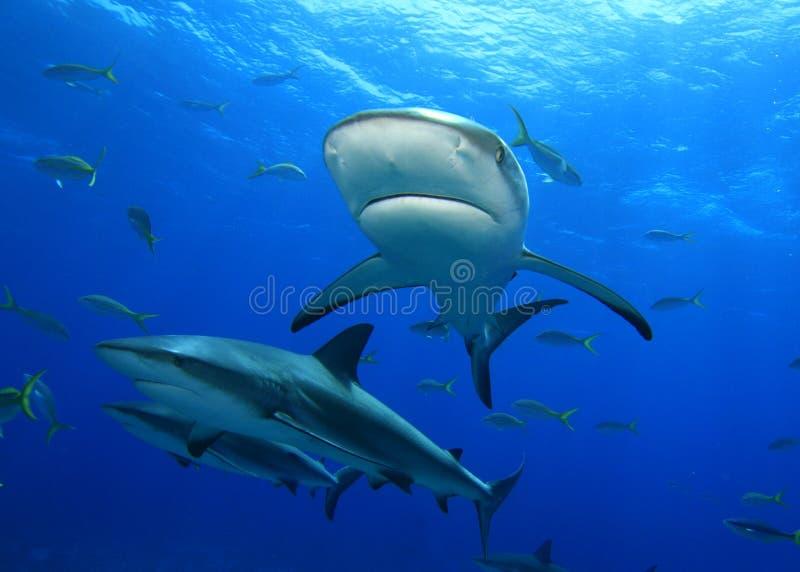 Karibische Riff-Haifische stockbilder