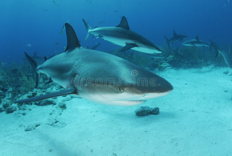 Karibische Riff-Haifische stockfotos