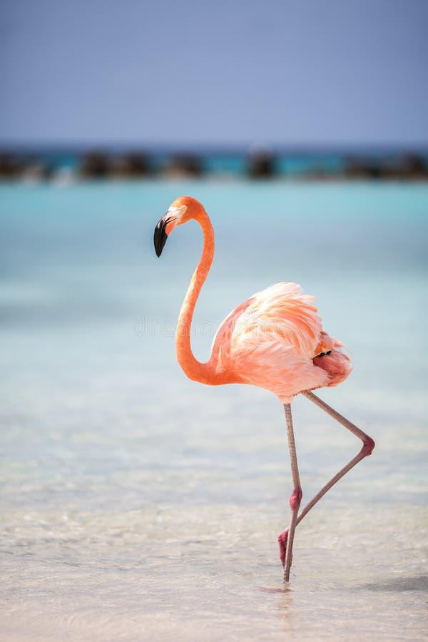 Karibischer Flamingo von Aruba stockfotos