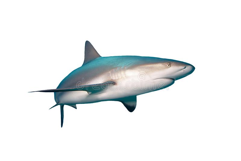 Karibischer Riff-Haifisch bahamas stockfotografie