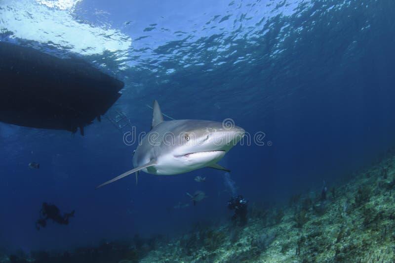 Karibischer Riff-Haifisch, der allein im offenen Wasser von Bahamas schwimmt stockbild