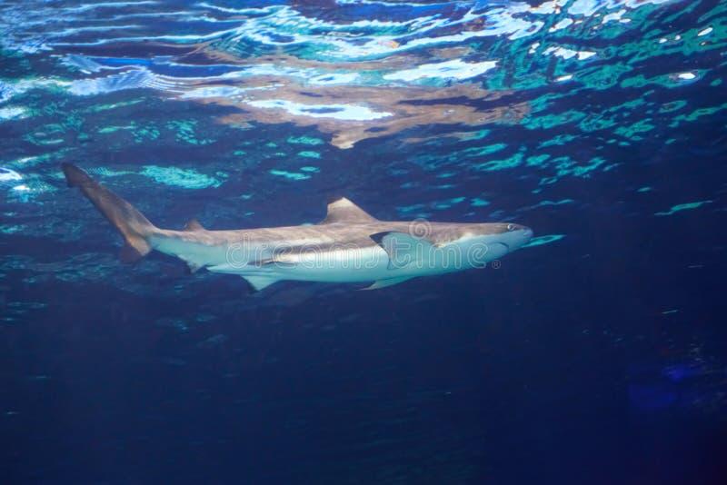 Karibischer Riffhaifisch stockbilder