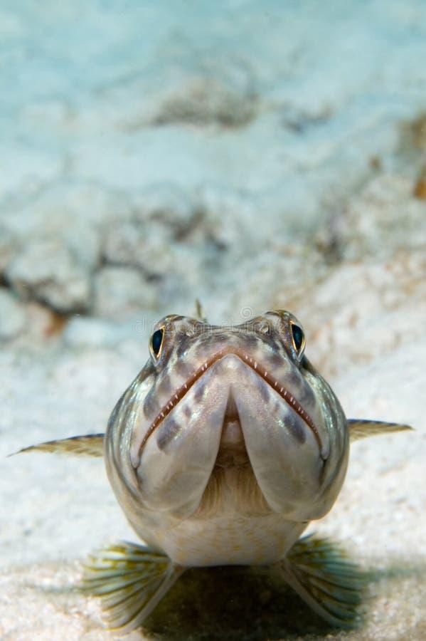 karibisk lizardfish arkivfoton