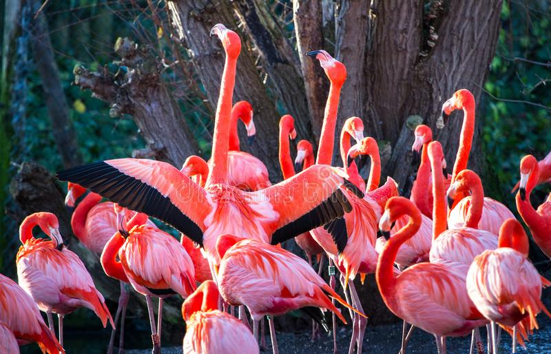 Karibiska amerikanska flamingo för flamingo aka royaltyfri fotografi