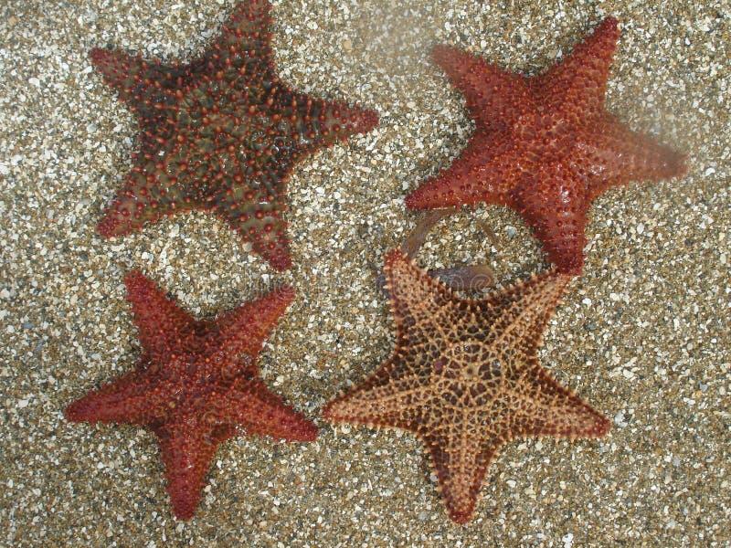karibiska fyra sand sjöstjärnan royaltyfria bilder