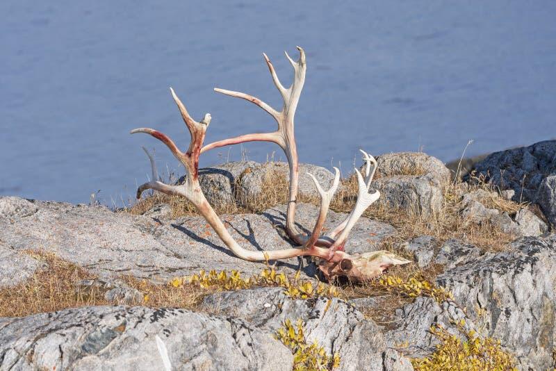 Kariboeschedel en Geweitakken in een Ver Noordpooldorp royalty-vrije stock fotografie