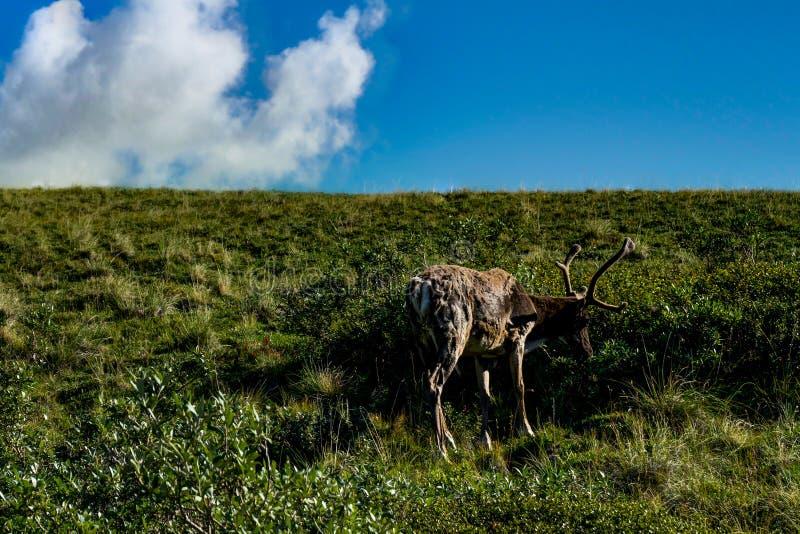 Karibu som söker efter mat i den Denali nationalparken i Alaska, förenar royaltyfri fotografi