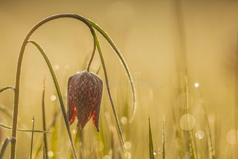 Karierte Lilie oder Schachblume, Bild eingelassenes Nord-Deutschland lizenzfreie stockbilder